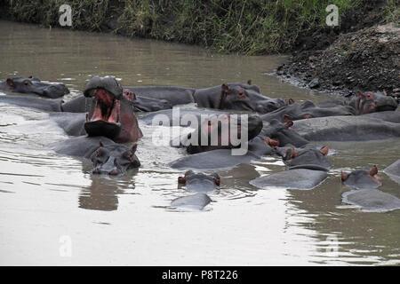 The Common Hippopotamus (Hippopotamus amphibius). Olare Motorogi Conservancy, Maasai Mara, Kenya, East Africa - Stock Photo