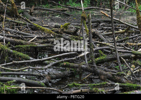 Dried marsh with old black color tree branches with moss lying on the dirt background - Stock Photo