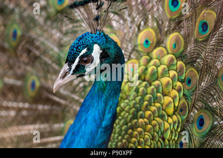 Beautiful male peacock, portrait with his colorful yellow, green and blue feathers out, close-up - Stock Photo