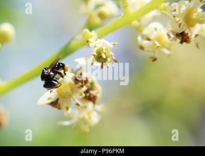 macro - close-up view of a small bee on a beautiful white and yellow color  Ambarella - Spondias dulcis - June plum fruit plant - Stock Photo