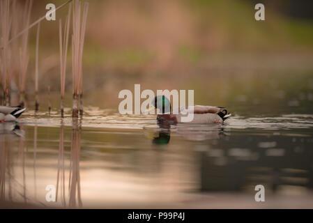Male mallard duck swimming in the lake - Stock Photo
