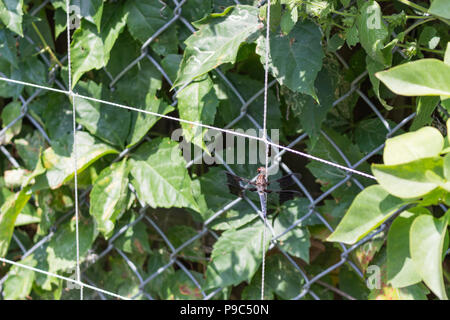 A beautiful dragonfly perched on a trellis in the garden. - Stock Photo