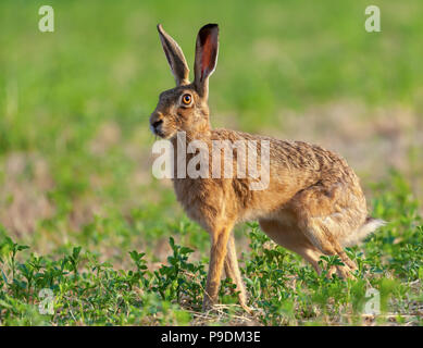 Wild hare beautiful close up in early morning sunrise. Stunning detail of the brown hare (Lepus europaeus) photographed in Norfolk in a field of crops - Stock Photo