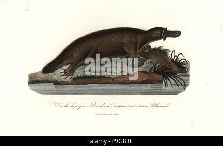 Platypus, Ornithorhynchus anatinus. Handcoloured copperplate engraving from Rene Primevere Lesson's Complements de Buffon, Pourrat Freres, Paris, 1838. - Stock Photo