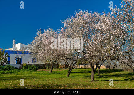 almond trees in flower and an Algarve cottage, near Boliqueime - Stock Photo