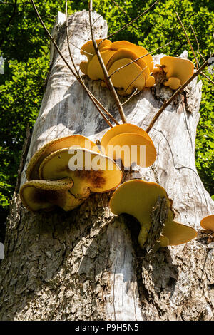 Large, yellow and brown, flat fungus growing on the side of a tree on the Isle of Bute, Scotland. - Stock Photo