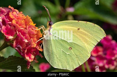 Detailed Side View of a Brimstone Butterfly (Gonepteryx rhamni) Feeding on a warm Summer Day. Baia Sardinia, Sardinia, Italy. - Stock Photo