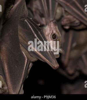 Portrait Of Egyptian Fruit Bat (Rousettus aegypticus) - Stock Photo