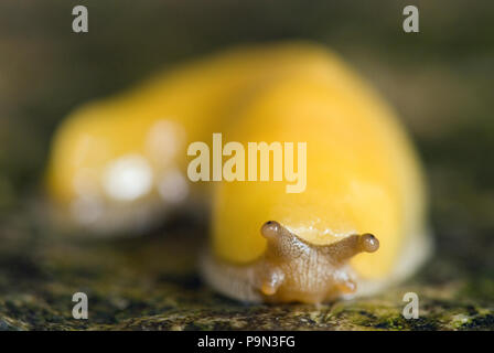 A Pacific banana slug (Ariolimax columbianus stramineus) in a forest. - Stock Photo