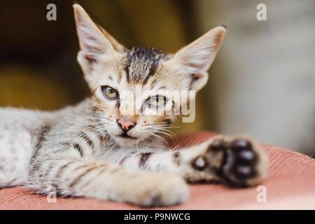 Cute Nepali little grey kitten playing at home in Gorkha Nepal.Himalaya's grey kitten - Stock Photo