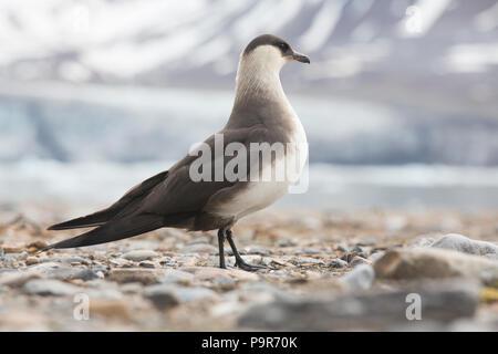 Parasitic jaeger / Arctic Skua (Stercorarius parasiticus) in Svalbard - Stock Photo