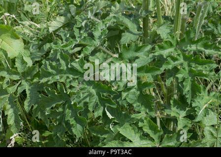 Bold large leaves of hogweed, Heracleum sphondylium, on tall flowering plant, Berkshire, June - Stock Photo