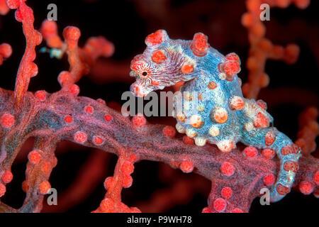 Pygmy seahorse (Hippocampus bargibanti) on sea fan coral (Muricella paraplectana), Port Moresby, Papua New Guinea - Stock Photo