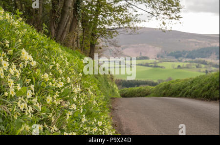 Primroses line the bank of a country lane near Tivington on Exmoor - Stock Photo