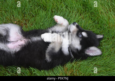 Adorable baby male alusky puppy laying on his back and showing submissiveness. - Stock Photo