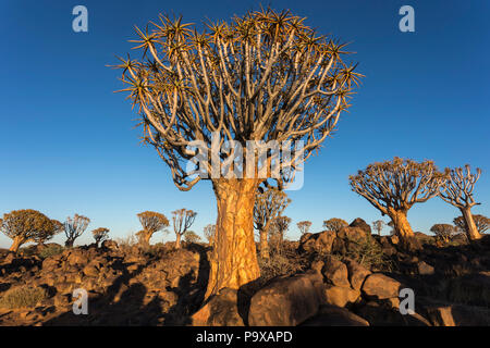 Quiver trees (kokerboom) (Aloidendron dichotomum, formerly Aloe dichotoma), Quiver Tree Forest, Keetmanshoop, Namibia, - Stock Photo