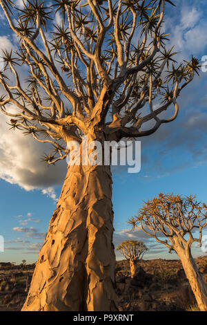 Quiver trees (kokerboom) (Aloidendron dichotomum, formerly Aloe dichotoma), Quiver Tree Forest, Keetmanshoop, Namibia - Stock Photo