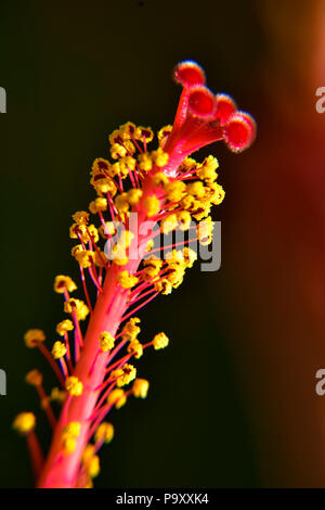 Close up of Hibiscus stamens showing the red and yellow details of it. - Stock Photo