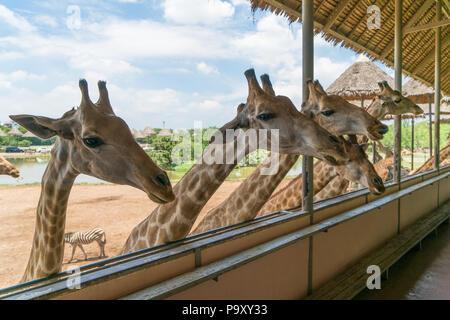 Giraffes heads in safari park. Beautiful wildlife animals on sunny warm day. - Stock Photo