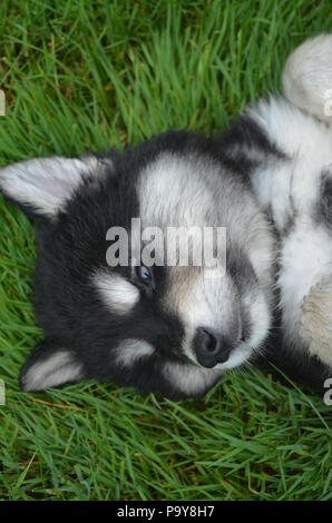 Alusky puppy showing submission by laying on his back in grass. - Stock Photo