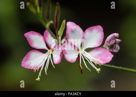 Delicate pink and white flowers of the compact, summer flowering hardy perennial, Gaura lindheimeri 'Rosyjane' - Stock Photo