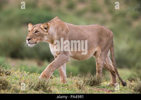 Lion (Panthera leo) female stalking, Kgalagadi Transfrontier Park, South Africa - Stock Photo