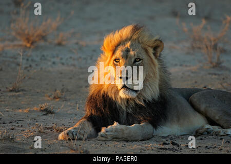 Big male African lion (Panthera leo) in early morning light, Kalahari desert, South Africa - Stock Photo