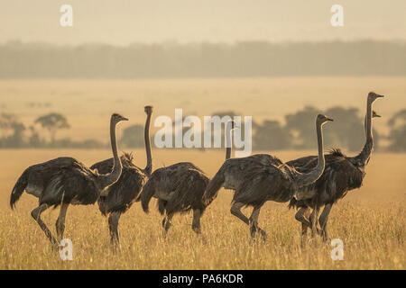 Group of 7 Common Ostriches (Struthio camelus)  walking in late afternoon in the Masai Mara in Kenya - Stock Photo