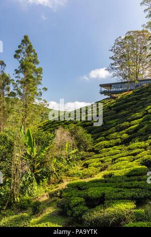 Tea plantations in the Cameron Highlands, Malaysia - Stock Photo