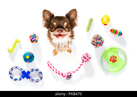 curious chihuahua dog looking up to owner waiting or sitting patient to play or go for a walk,  isolated on white background and toys - Stock Photo
