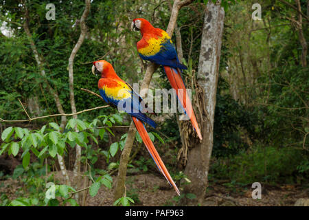 Two Scarlet Macaw parrots - Aras - siting in the tree in Copan Ruinas, Honduras, Central America - Stock Photo