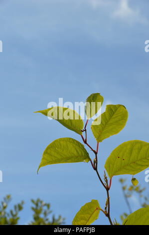 The stem and leaves of the Japanese Knotweed (Fallopia japonica) plant against a background of blue sky - Stock Photo