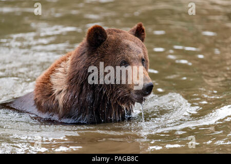 Brown Bear (Ursus arctos) swimming in a water - Stock Photo