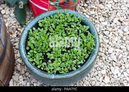 Rocket salad seedlings in a pot at just a week old. - Stock Photo
