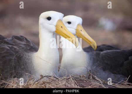 Waved Albatross (Phoebastria irrorata), Galapagos Islands - Stock Photo