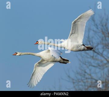 Mute Swan (Cygnus olor), pair in flight. Germany - Stock Photo