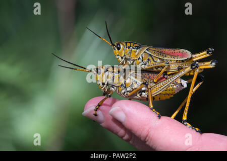 Eastern Lubber grasshopper pair mating, Florida, USA - Stock Photo