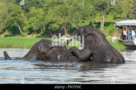 Two grown elephants swimming and playing in Chobe National Park with tourists on a boat in the background - Stock Photo