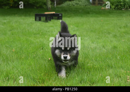 Gorgeous brave alusky puppy only eight weeks old. - Stock Photo