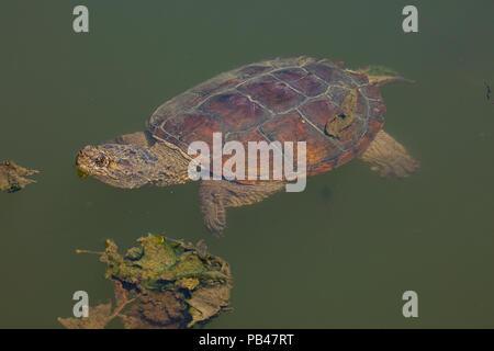 snapping turtle, Chelydra serpentina, Maryland - Stock Photo