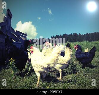 white and black hens in the henhouse on the hill - Stock Photo