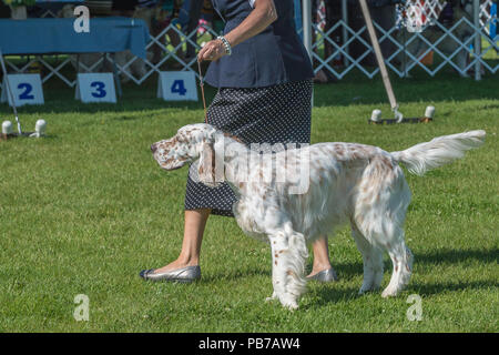 English setter dog, Evelyn Kenny Kennel and Obedience Club Dog show, Alberta, Canada - Stock Photo