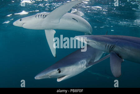 Blue shark (Prionace glauca) group of three, Cape Point, South Africa, February. - Stock Photo