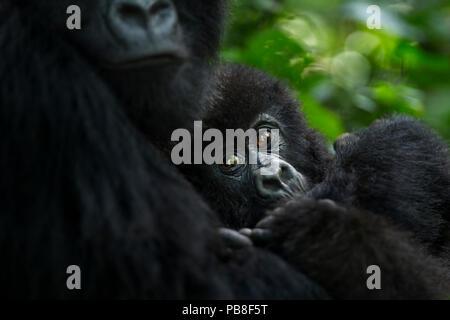 Mountain gorilla (Gorilla gorilla beringei) female and infant, member of 'Humba' group. Virunga National Park, Democratic Republic of Congo, March. - Stock Photo