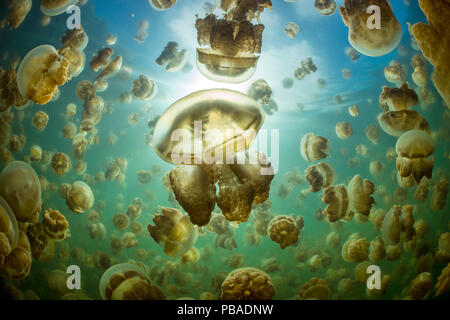 Aggregation of Golden jellyfish (Mastigias sp.) in a marine lake in Palau, the golden colour of this species comes from symbiotic algae in its tissues. Jellyfish Lake, Eil Malk island, Rock Islands, Palau. Tropical north Pacific Ocean. - Stock Photo
