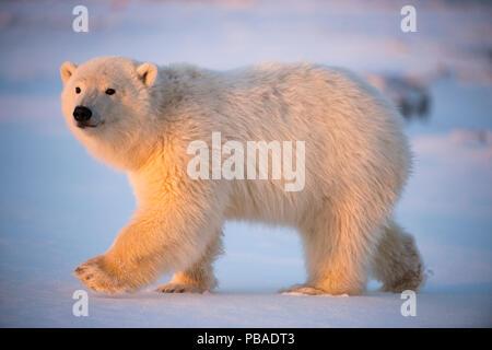 Young Polar bear (Ursus maritimus) walking on newly formed pack ice, near Kaktovik, Barter Island, North Slope, Alaska, USA, October. Vulnerable species. - Stock Photo