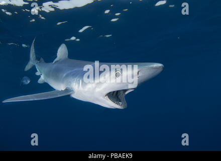 Blue shark (Prionace glauca), Cape Point, South Africa, February. - Stock Photo