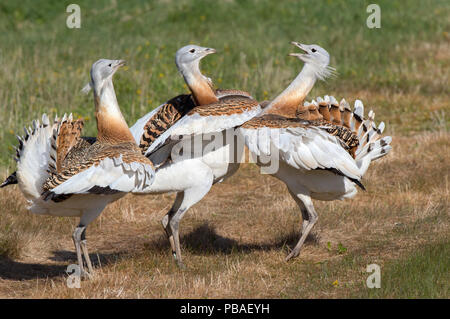 Great bustard (Otis tarda) males (P5) (Bk9) & (L12) fighting on Salisbury Plain, part of reintroduction project, UK April - Stock Photo