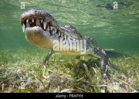 American crocodile (Crocodylus acutus) resting just above seagrass underwater, Banco Chinchorro Biosphere Reserve, Caribbean region, Mexico - Stock Photo