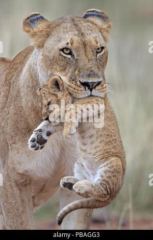African Lion (Panthera leo) female carrying young cub. Masai Mara, Kenya, Africa. August. - Stock Photo